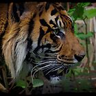 Sumatran Tiger Wildlife Big Cat-Lover Artwork by Val  Brackenridge
