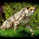 Cheetah Wild Cat Animal-Lover Wildlife Poster by Val  Brackenridge