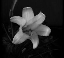 Easter Lily II by gjameswyrick