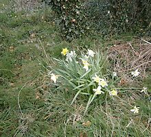 Daffodils by brucemlong
