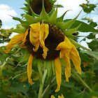 Scraggly Sunflower by Chad Burrall