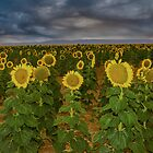 field of sun flowers by ketut suwitra