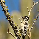 Ladder-backed Woodpecker in Arizona by Heather Pickard