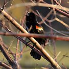 Red winged blackbird - (Agelaius phoeniceus) by Matsumoto