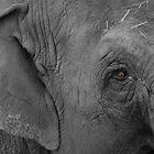 Asian Elephant by Paul Dulac