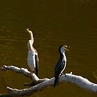 Australien Dart Birds by HG. QualityPhotography