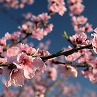 peach blossoms 1 by Michael McCasland