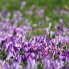 Purple Spring by KUJO-Photo