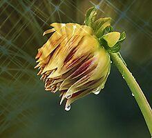 Rain-Kissed Dahlia by Monnie Ryan