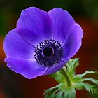 Purple Anemone by autumnwind