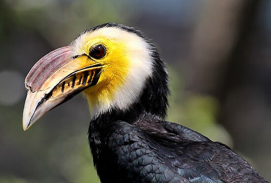Hornbill.... by Larry Baker
