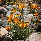 Wildflowers ~ African Dasies by Lucinda Walter