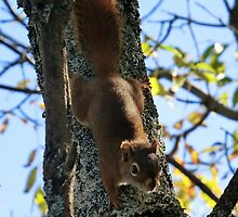 North American Red Squirrel by Kathleen Daley