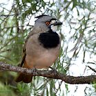 Crested Bellbird taken at Cobar by Alwyn Simple