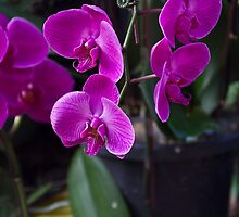 Some very beautiful purple colored orchid flowers by ashishagarwal74