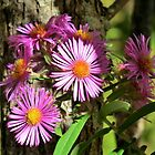 Pink New England Aster by Kathleen Daley
