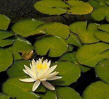 Lily pad by Karl  Zielke