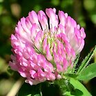 Red Clover by Kathleen M. Daley