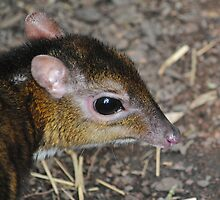 Lesser Malayan Chevrotain ( Mouse Deer) by Dorothy Thomson