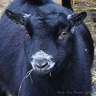 Wendell the goat by Rainydayphotos