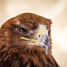 Jacob the Harris Hawk by Peta Thames
