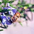 Rosemary Bee by jayneeldred