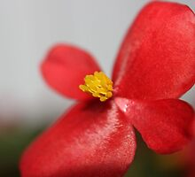 Beautiful Begonia by aprilann