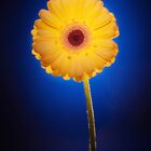 Yellow Gerbera On Blue by Ra12