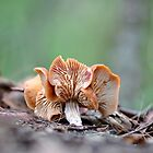 Psilocybe sp. by Erin Anderson