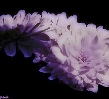 Lavender Mums by Winona Sharp