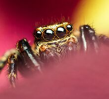 Pseudeuophrys lanigera male jumping spider photo by Mario Cehulic
