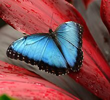 The Blue Morpho by Diane E. Berry