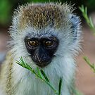 Infant Ververt Monkey, Lake Manyara, Tanzania  by Sue Ratcliffe