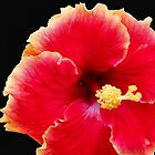 Red Hibiscus by Sandy1949