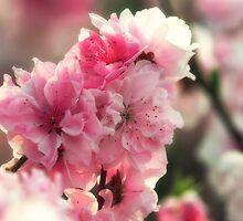 Pink Afternoon Sakura by mikeofthethomas