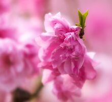 Hot Pink Bloom by mikeofthethomas