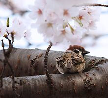 Sparrow Perches in a Sakura Tree by mikeofthethomas