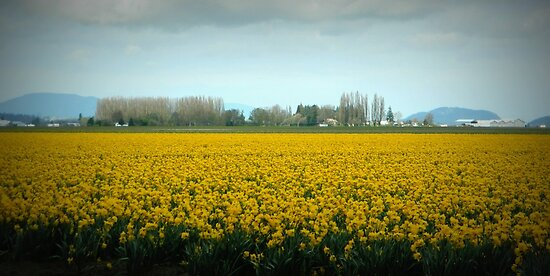 Daffodil Field by kchase
