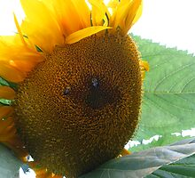 Sunflower #3 by Stephen Oravec
