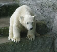 Polar Bear Cub by Stephen Oravec