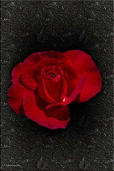 November Rose by Elaine Teague