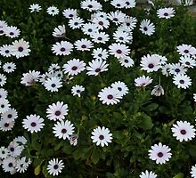 African Daisies by PrettyLilly