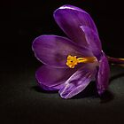 Crocus by hary60