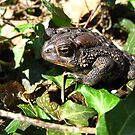 American Toad by Stephen Oravec