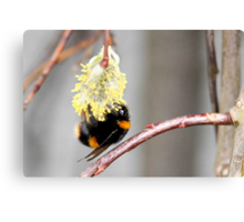 First pollen of spring Canvas Print
