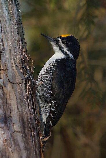 Male Black-backed Woodpecker by Daniel Cadieux