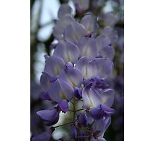 Purple and Violet Wisteria Blossom Photographic Print