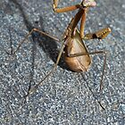 Praying Mantis by Colin  Ewington