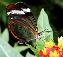 Glasswing Butterfly on Santana by AnnDixon