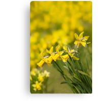 Daffodil Chorus Canvas Print